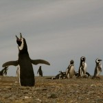Penguin's Rapping Ice Ice Baby in Patagonian Chile